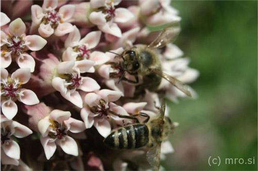 Cvet in čebela, foto Branko Kozinc